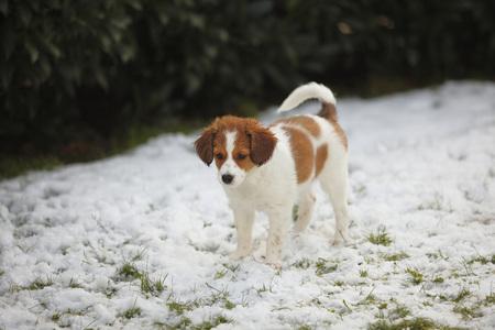 Kooikerhondje puppy standing on snow- covered meadow LANG_EVOIMAGES