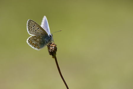 Common blue butterfly, Polyommatus icarus LANG_EVOIMAGES