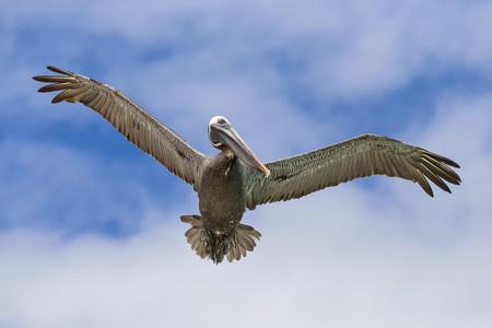 Ecuador, Galapagos Islands, Santa Cruz, Playa Las Bachas, flying brown pelican