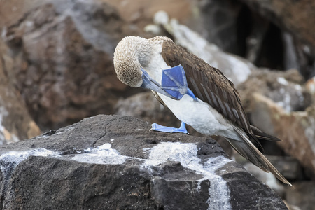 Ecuador, Galapagos Islands, Isabela, blue-footed booby cleaning his foot