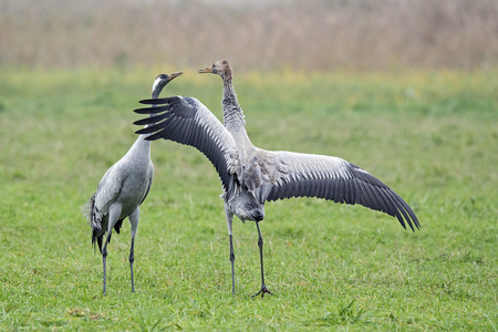 Crane couple on meadow LANG_EVOIMAGES