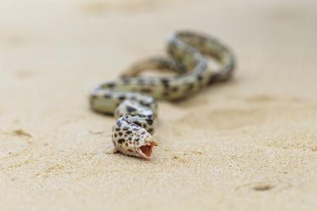 Ecuador, Galapagos Islands, Floreana, Tiger snake eel on beach