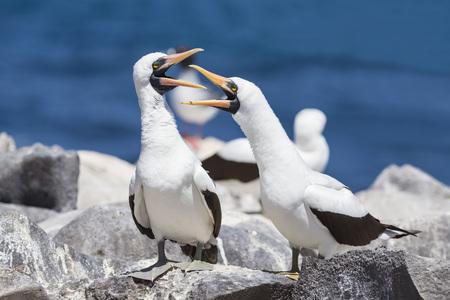 Ecuador, Galapagos Islands, Espanola, Punta Suarez, two communicating Nazca boobies