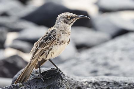 Ecuador, Galapagos Islands, Santa Cruz, Punta Suarez, Galapagos mockingbird