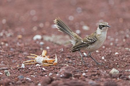 Ecuador, Galapagos Islands, Rabida, Galapagos mockingbird LANG_EVOIMAGES