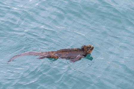 Ecuador, Galapagos Islands, Santa Cruz, Puerto Ayora, Marine iguana, Amblyrhynchus cristatus, swimming