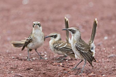 Ecuador, Galapagos Islands, Rabida, three Galapagos mockingbirds LANG_EVOIMAGES