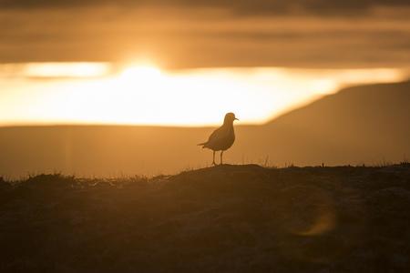 Iceland, golden plover LANG_EVOIMAGES