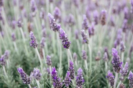 Blossoming lavender LANG_EVOIMAGES