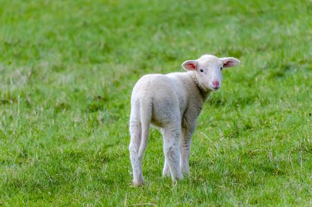 Lamb on a meadow