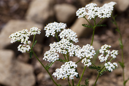 Blossoming Common Yarrow