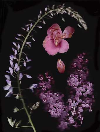 Chinese Wisteria, camellia and lilac in front of black background