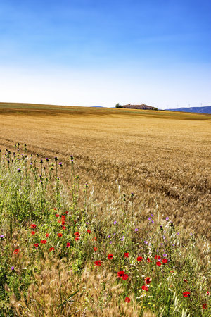 Spain, Andalusia, Field of barley, farmhouse and wind turbines in the background LANG_EVOIMAGES