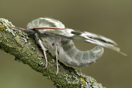 Lime Hawk-moth on twig LANG_EVOIMAGES