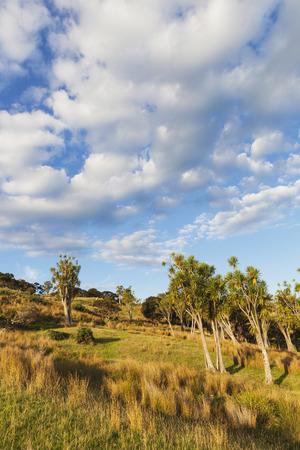 New Zealand, North Island, East Cape, Tolaga Bay region, evening light and Cabbage trees, Cordyline australis