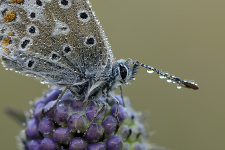 Wet Common blue on a blossom