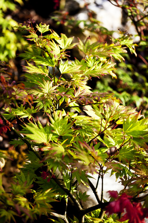 Japanese Maple LANG_EVOIMAGES