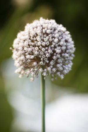 Garlic blossom