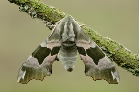 Lime Hawkmoth