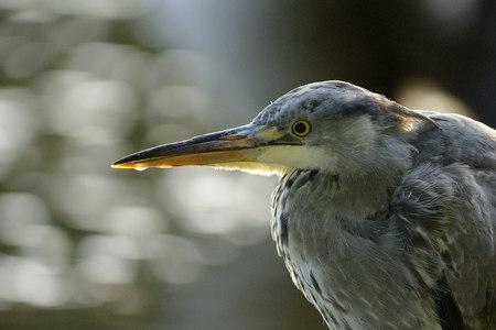 Portrait of grey heron LANG_EVOIMAGES