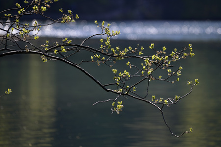 Willow branch over lake