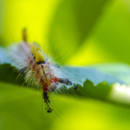 Caterpillar of Rusty Tussock Moth on leaf