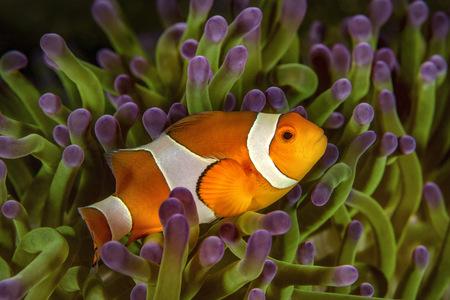 Bali, Ocellaris Clownfish in sea anemone
