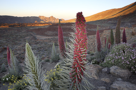 Spain, Canary Islands, Tenerife, Teide National Park, Mount Teide, Echium Wildpretii