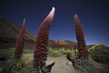 Spain, Canary Islands, Tenerife, Teide National Park, Mount Teide, Echium Wildpretii at night LANG_EVOIMAGES