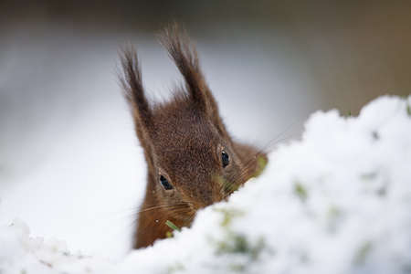 Eurasian red squirrel in snow LANG_EVOIMAGES