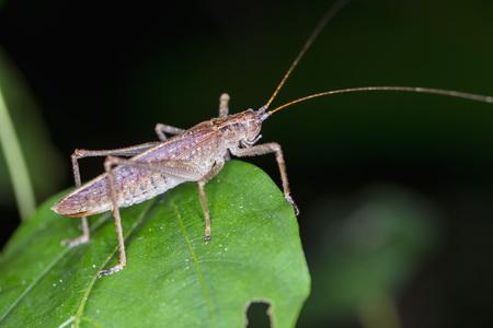 Peru, Manu National Park, grasshopper on leaf LANG_EVOIMAGES