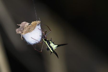 Peru, Manu National Park, Thorn orb weaver