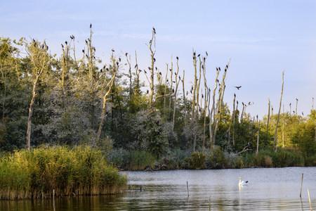 Germany, Usedom, Pudagla, flock of cormorants on dead trees at Schmollensee LANG_EVOIMAGES