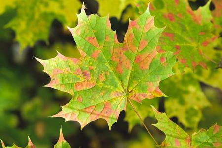 Norway Maple leaf in autumn