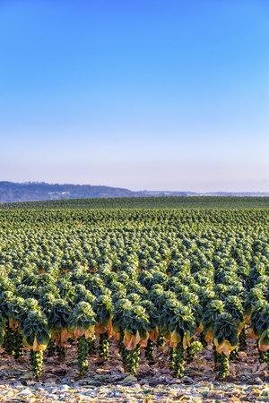 UK, Scotland, East Lothian, Brussels Sprout field