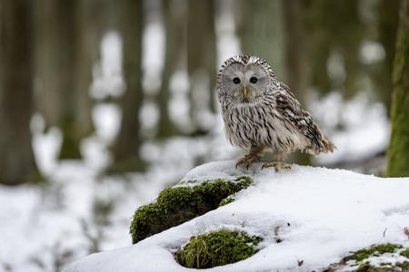 Ural owl, Strix uralensis, in forest LANG_EVOIMAGES