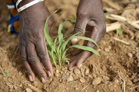 Burkina Faso, village Koungo, woman planting sorghum plant
