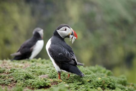 UK, England, Skomer, Atlantic puffin with prey