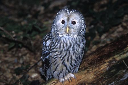 Habichtskautz, Ural Owl, Strix uralensis