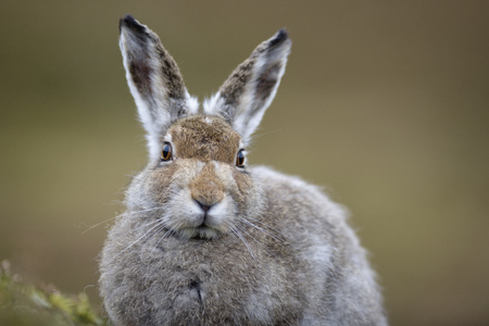 UK, Scotland, portrait of Mountain Hare