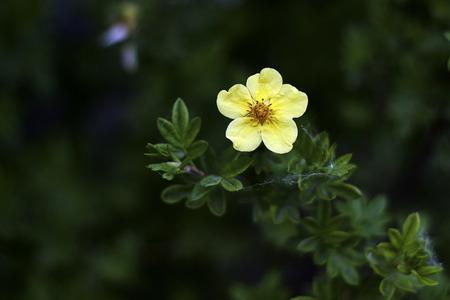 kuril: Kuril tea shrub - complex therapy of inflammatory diseases
