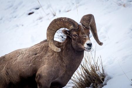 borrego cimarron: Un borrego cimarr�n en el Parque Nacional de Yellowstone. Foto de archivo