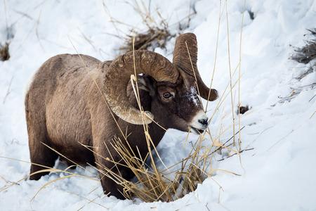 bighorn sheep: A bighorn sheep in Yellowstone National Park.