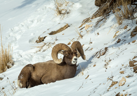 rocky mountain bighorn sheep: A bighorn sheep in Yellowstone National Park.