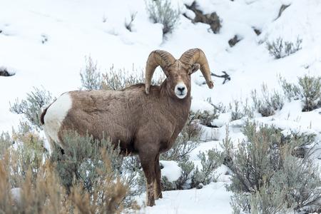 borrego cimarron: Un borrego cimarrón en el Parque Nacional de Yellowstone. Foto de archivo