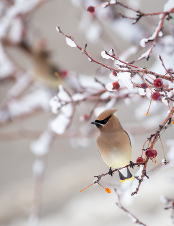 bird feathers: A cedar waxwing perched in a tree.