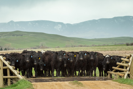 Black Angus cattle gather at a cattle guard Imagens