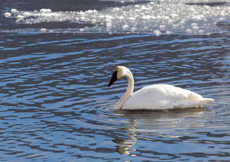 trumpeter swan: A trumpeter swan swimming in a creek.