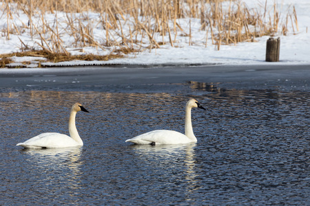 trumpeter swan: Two trumpeter swans swim along a creek.