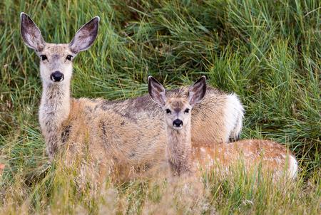mule: A doe and fawn mule deer.